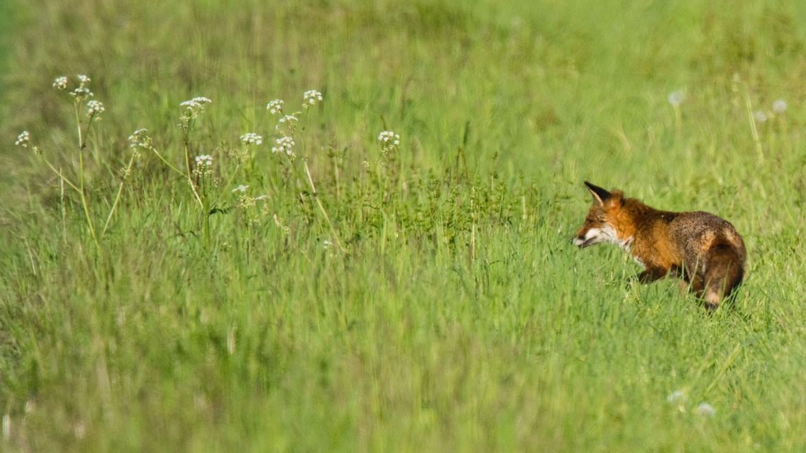Beau Ein Fuchs Hat Es Auf Die Schuhe Der Gerhausener Abgesehen. (Symbolbild) ©  Foto: Julian Stratenschulte/dpa