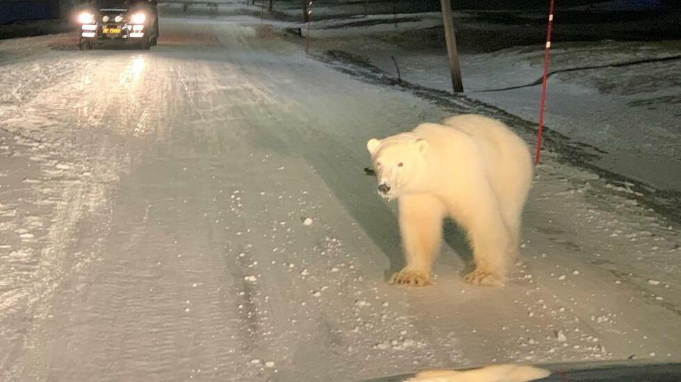 Toter Eisbär Spitzbergen Longyearbyen Eisbär Von Behörden