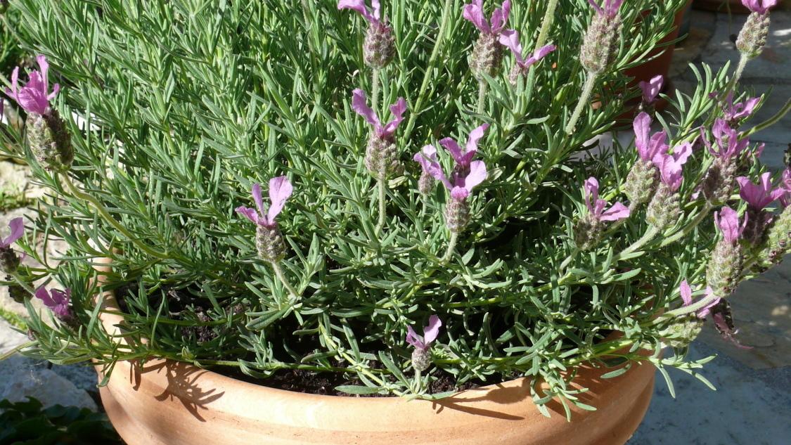 Lavendel Pflege