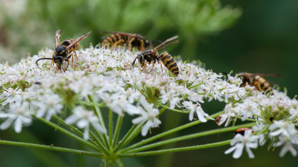 Welchen Nutzen Haben Wespen